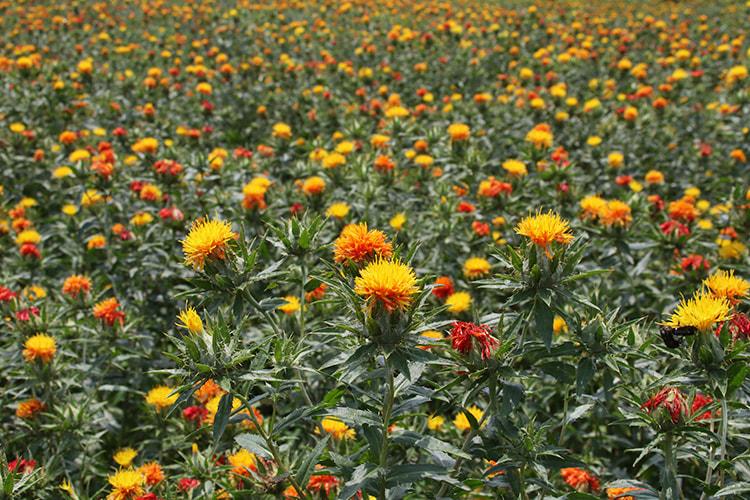 黄や赤色の花が一面に広がったベニバナ畑