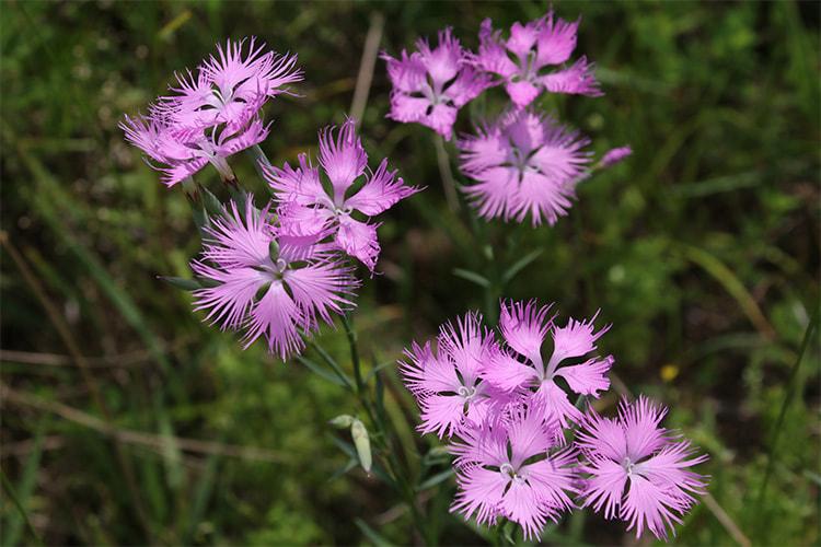 カワラナデシコが11個集まって咲く様子