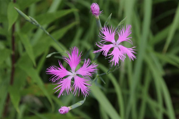 ピンクのカワラナデシコ2輪と咲き掛けの蕾