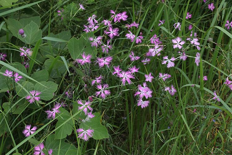 草地の緑にピンクのカワラナデシコが数多く咲いている