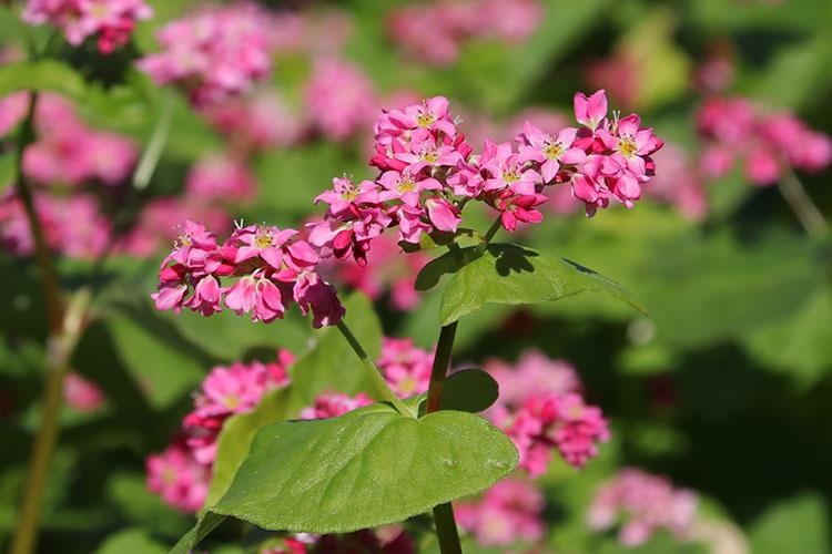 赤い花が集まり咲くそばの花の写真