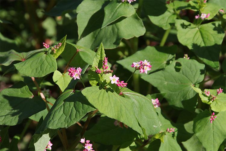 蕾のうち1、2輪開花し始めたソバの花