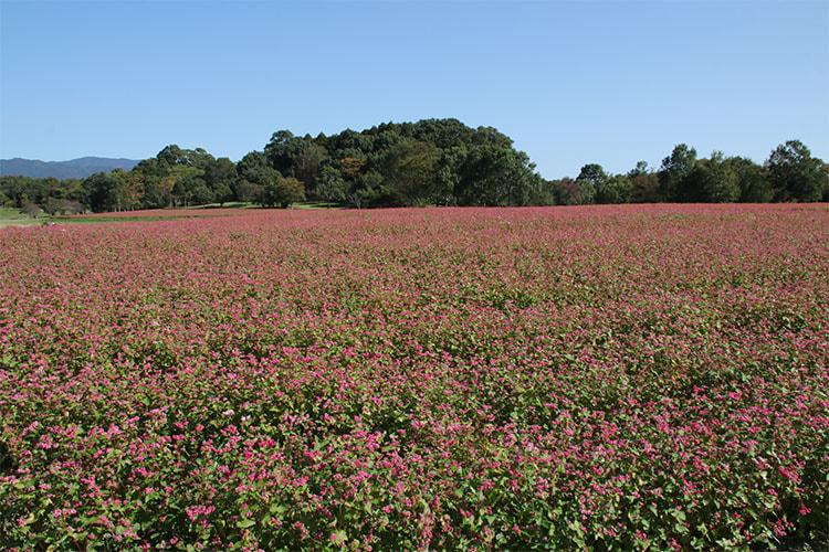 一面に赤い花が広がるソバ畑