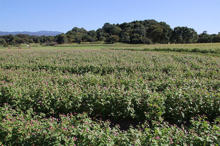 一面葉の緑の中、蕾の赤色が点々と見えるソバ畑の写真