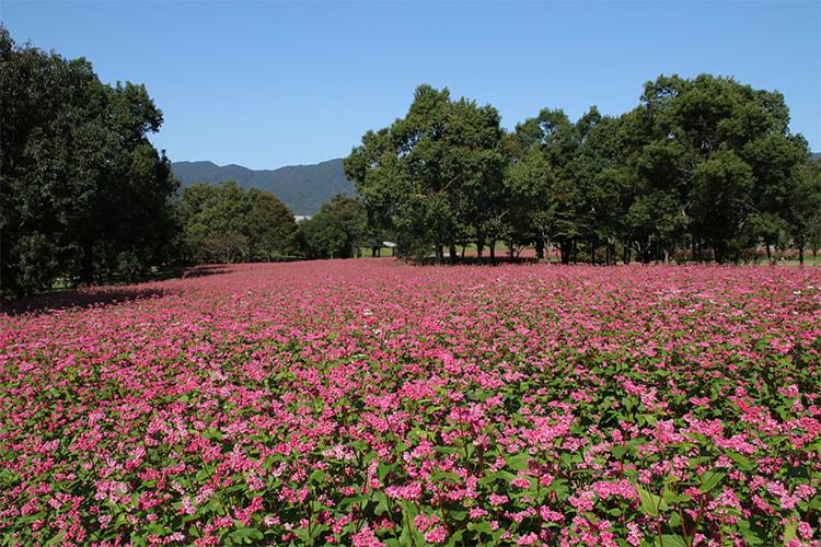 木々の緑とソバ畑の赤い花のコントラストが映える写真