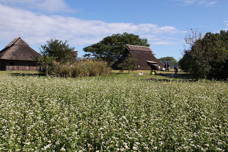 畑一面に咲く白いソバの花の写真