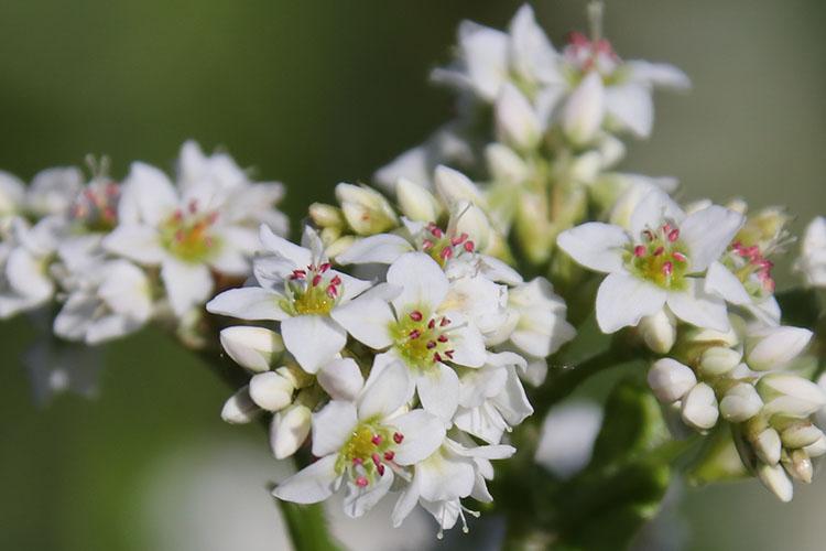 白く小さい花が集まって咲くソバのめしべにピンクの花粉がついている写真