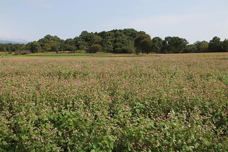 一面のソバ畑は開花が進み、うっすらピンク色になっている写真