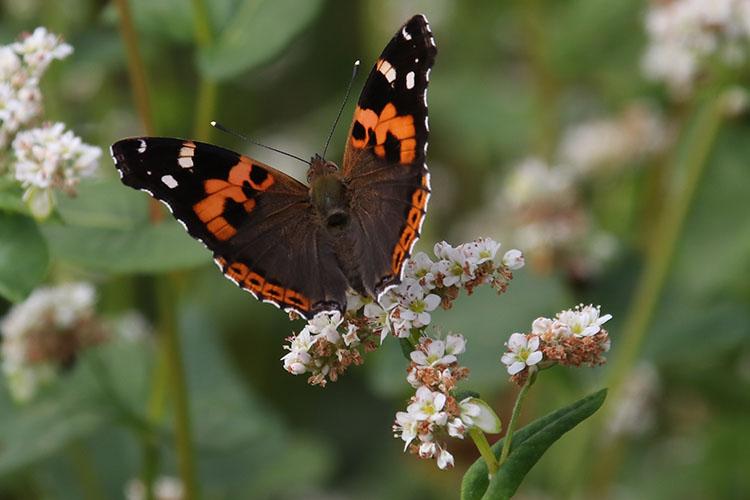 羽を開いた蝶が止まったソバの花。枯れた花弁が茶色くなっている写真