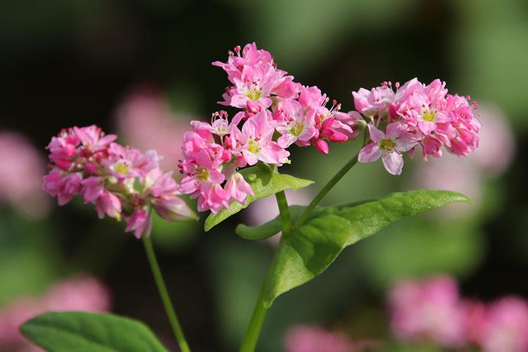 開花が進み7分ほど咲いた赤いソバの花の写真