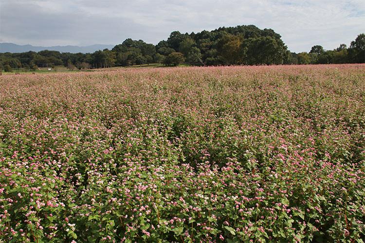 一面の赤いソバの花の写真