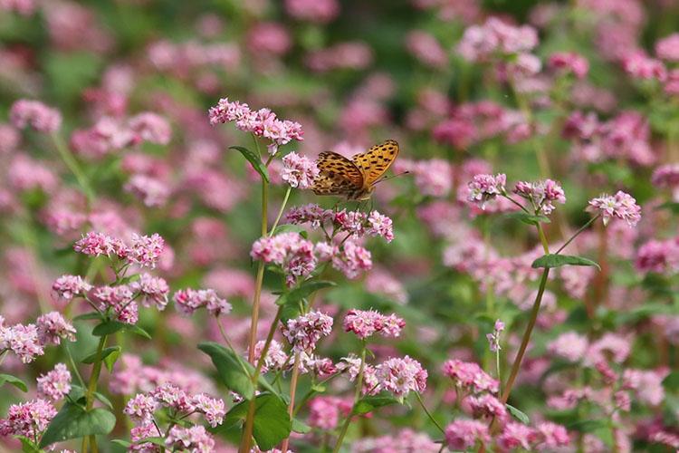 赤いソバの花で蜜を吸うツマグロヒョウモン(蝶)の写真