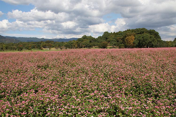 全体がピンク色に染まったソバ畑の写真