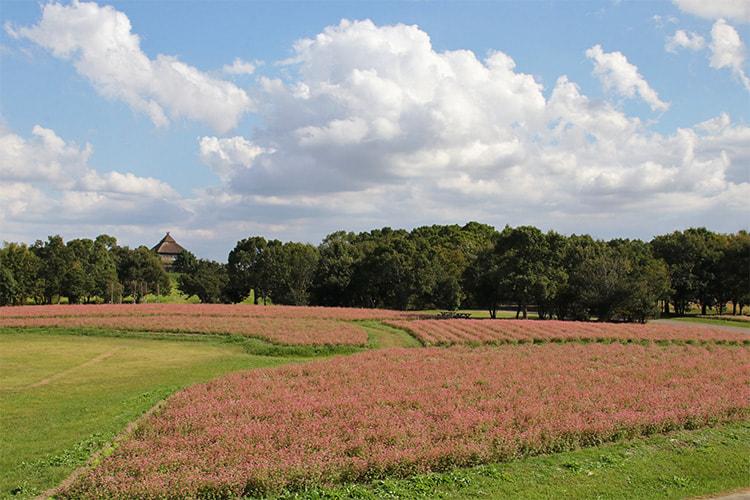 俯瞰で撮った広い畑がピンク色になっている写真