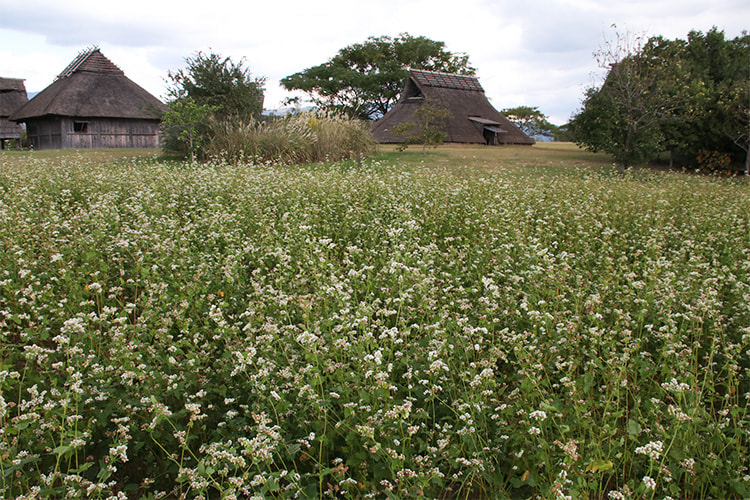 全体に枯れた花弁の茶色い部分が見られるようになった畑の写真