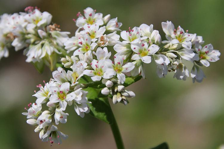 白く小さな花が数十個集まって咲くソバの写真