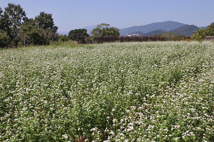 一面に咲くソバの花。背後に丸太を並べた城柵が見える